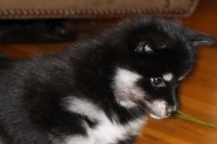 Another Pomsky Puppy Picture of Daisy