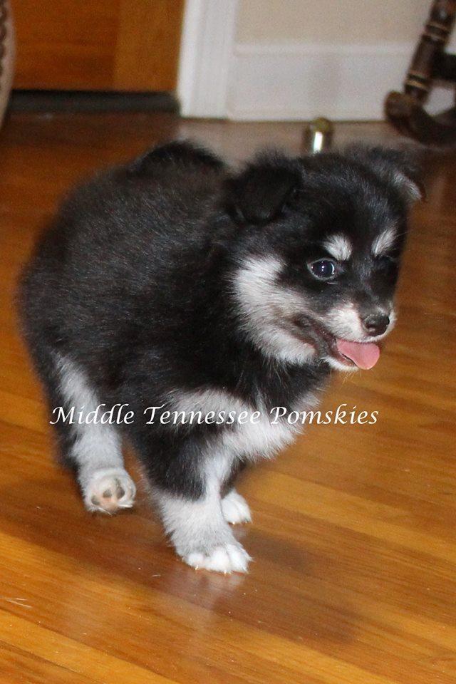 Middle TN Pomskies Puppy Daisy - February 2017