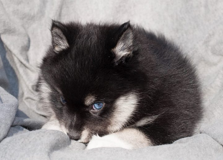 Noel Pomsky Puppy Available