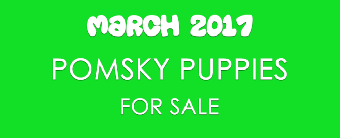 Pomsky Puppies For Sale For March 17